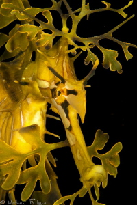leafy sea dragon (Kingscote, KI, SA) by Mathieu Foulquié