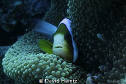 Nemo GBR by David Haintz