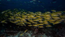 Schooling Bluestripe Snapper @ Boduhithi Thila by Taco Cheung