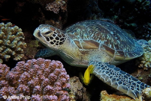 """""""Resting in the reef"""" - Green turtle and friend Wadi Gim... by Andre Philip"""