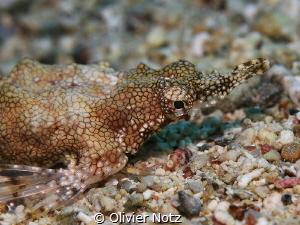 Eurypegasus draconis / Flügelrossfisch / Seamoth by Olivier Notz