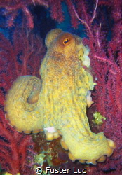 Octopus playing inside sea fans.compact LUMIX FX01. Ile P... by Fuster Luc