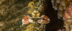 Porcelain crab posing for a portrait by Arno Enzo