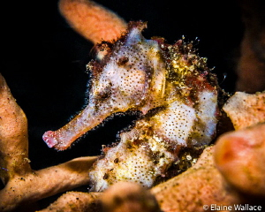 Sea horse in Lembeh.  It was lodging with a hairy frog fi... by Elaine Wallace