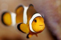 macro clownfish canon eos 5 ikelite housing by Justin Bauer
