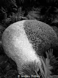 Cruella DeVille brain coral. Taken in Key Largo. by Lindsey Mobley