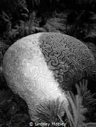Cruella DeVille brain coral. Taken in Key Largo. by Lindsey Mobley