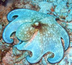 Octopus - Glovers Atoll, Belize by George Smorse