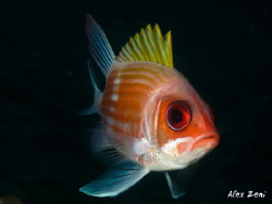 squirrelfish in Guadeloupe by Alex Zeni