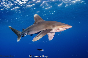 Oceanic white tip shark with fish hook in his mouth by Leena Roy
