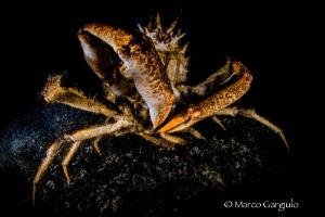Crab by Marco Gargiulo