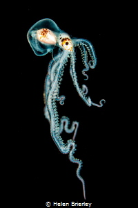 Pelagic octopus, free swimming at night off Kona, Hawaii ... by Helen Brierley