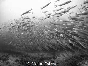 Split ... ! Chevron Barracuda - Sphyraena qenie. Sail Roc... by Stefan Follows