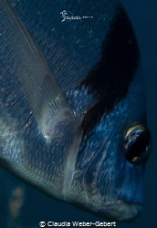 fintastic - sea bream close up fin detail by Claudia Weber-Gebert