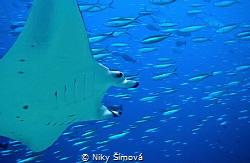 Manta rays by Niky Šímová