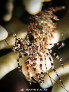 Marble shrimp by Beate Seiler