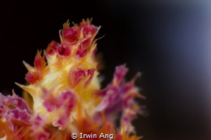 M I M I C K I N G Candy crab (Hoplophrys) Anilao, Phili... by Irwin Ang