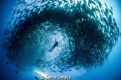 Swimming within a swirling mass of Jacks. Cabo Pulmo, Mexico by Caine Delacy