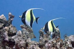 Today's dive...a pair of Moorish Idol. Kihikihi. by Glenn Poulain