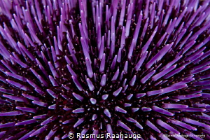 psychedelic purple by Rasmus Raahauge