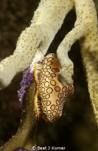 Flamingo Tongue Nudibranch feasting on polyps. by Beat J Korner