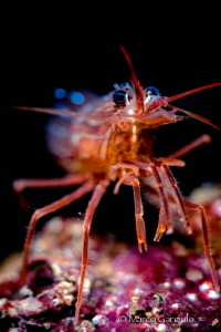 Red Shrimp by Marco Gargiulo