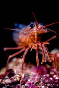 Red Shrimp by Marco Gargiulo