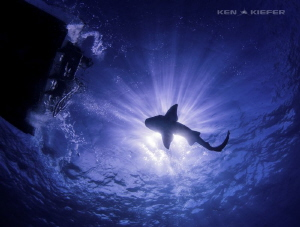 Nurse Shark enjoying some rays by Ken Kiefer
