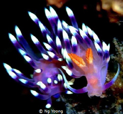 Dragon nudibranch by Ng Yoong