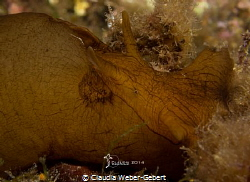 sea hare cutie - Aplysia Fasciata, France - mediterranean... by Claudia Weber-Gebert