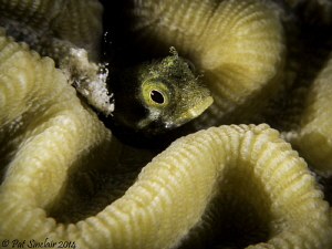 I spent a little bit of time with this blenny trying to g... by Patricia Sinclair