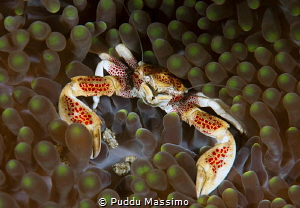 porcelain crab by Puddu Massimo