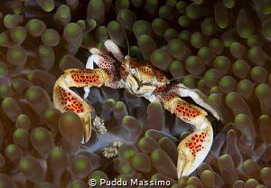 porcelain crab by Puddu Massimo