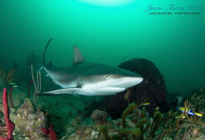 Reef Shark at Guanica, PR. by Juan Torres