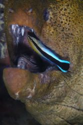 Moray eel being clean by a cleaner wrasse. D70,105mm,Kapa... by Frankie Tsen