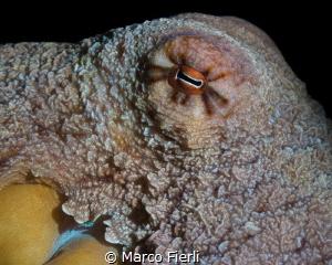Octopus, Portrait by Marco Fierli