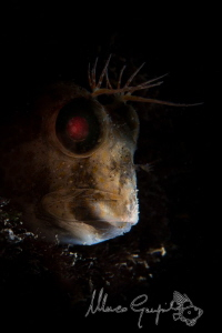 """African """"Snooted"""" Blenny by Marco Gargiulo"""