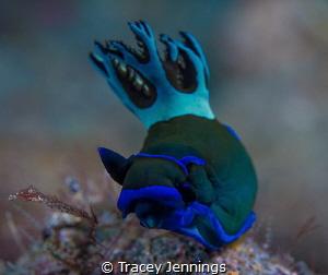 Rhapsody in blue .. by Tracey Jennings