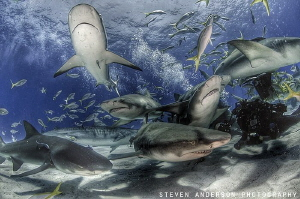 Surrounded by friends at Tiger Beach - Bahamas by Steven Anderson