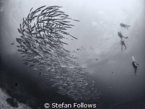 Saga ... ! Chevron Barracuda - Sphyraena qenie. Sail Rock... by Stefan Follows