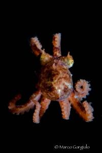 Little octopus by Marco Gargiulo