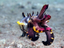 Flamboyant Cuttlefish. Shot at around 6m. by Joe Klakus