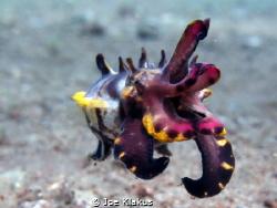 Flamboyant Cuttlefish. Shot at around 6m. by Joe Klakus