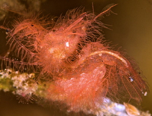Hairy shrimp with eggs. by Mehmet Salih Bilal