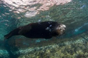 Male Sea Lion, Isla Espíritu Santo Mexico by Alejandro Topete
