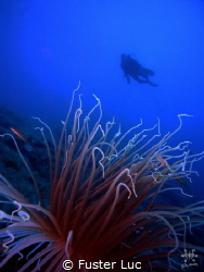 cerianthe and diver.Reef La Bota,Ibiza. 55meters depth wi... by Fuster Luc