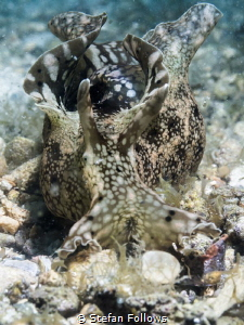 Softly Softly. Sea Hare - Aplysia parvula. Chaloklum, Gul... by Stefan Follows