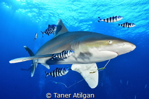 Oceanic White Tip from Brother Islands by Taner Atilgan
