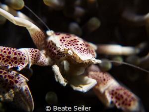 Porcellan crab by Beate Seiler