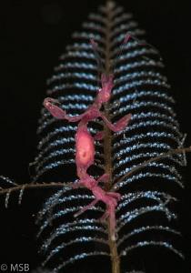 Purple skeleton shrimp. by Mehmet Salih Bilal